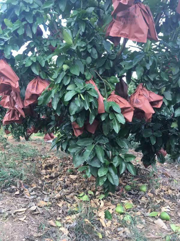 已套袋的三红柚